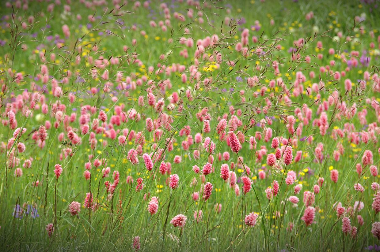 польові квіти україни фото і назви
