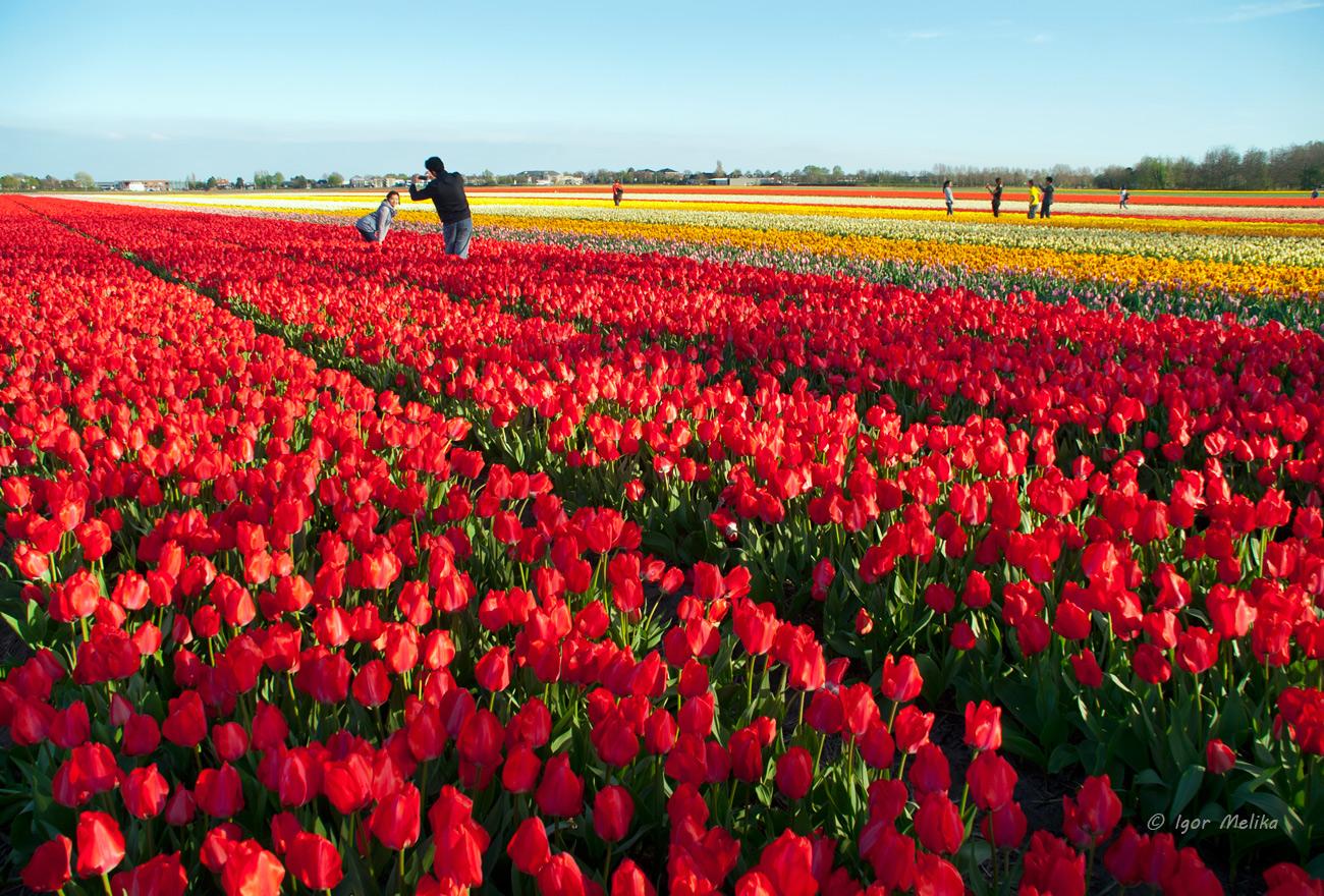 Кто сажал голландские тюльпаны 533