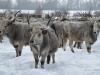 Угорська сіра корова © Igor Melika