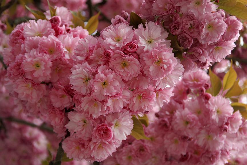 Sakura-10