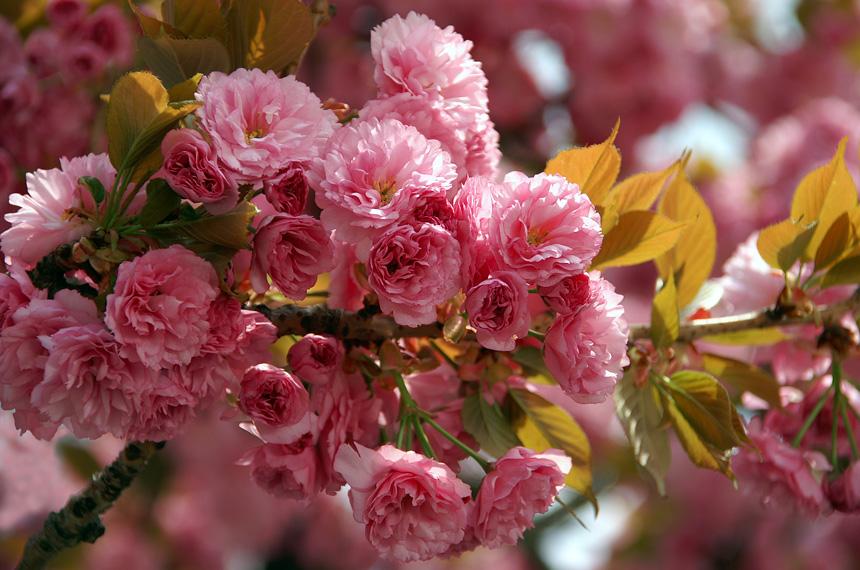 Ужгород може залишитися без квітучих сакур