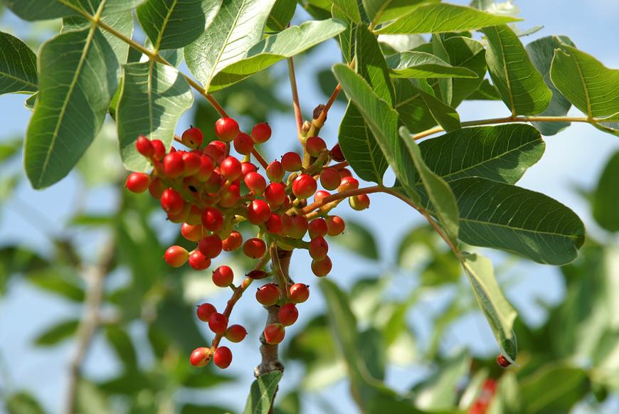 Плоди фісташкового дерева (ладанове дерево)