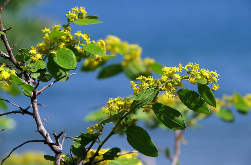 Суцвіття фісташкового дерева (Pistacia mutica)