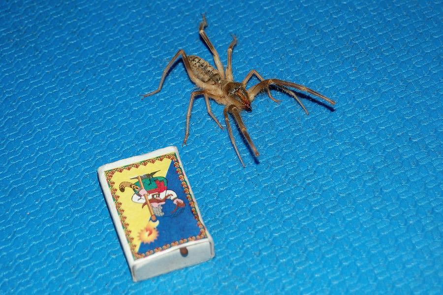 Павук Фаланга (Solifugae)