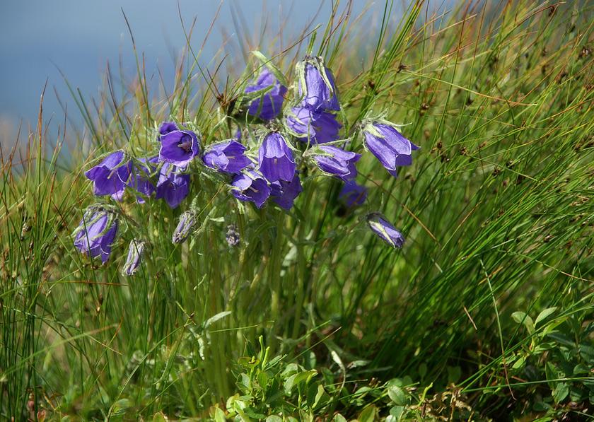 Дзвоник альпійький (Campanula alpina)