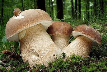 Ціль кожного грибника - це щирий білий гриб! На світлині - плодові тіла Білого гриба сітчастого (Boletus reticulatus (Schaeff.) Boud.)