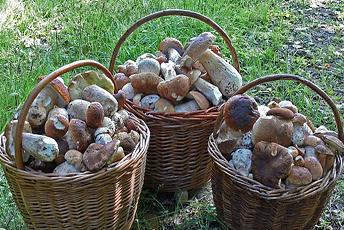 У грибний сезон часто можна зібрати до кількадесят кілограмів боровиків!