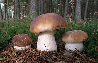 Білий гриб ялиновий (Boletus edulis Fr.) - найбільш відомий з боровиків