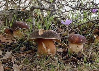 Білий гриб темно-каштановий (Boletus aereus Bull. ex Fr.)