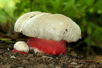 Отруйний Сатанинський гриб (Boletus satanas Lenz) часом плутають із боровиком