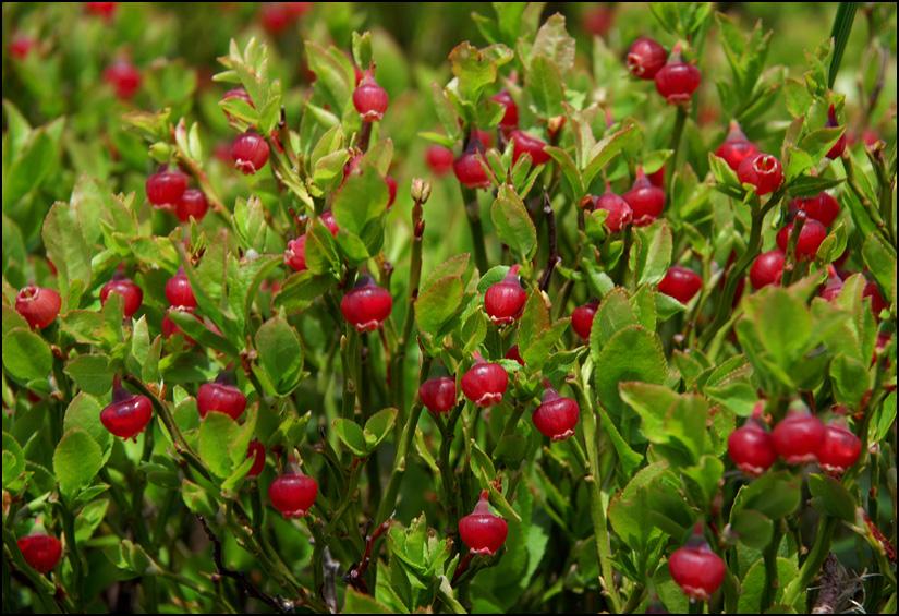 Цвіт чорниці (Vaccinium myrtillus L.)