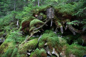 Горганський ліс