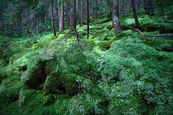 Ліс в Горганах