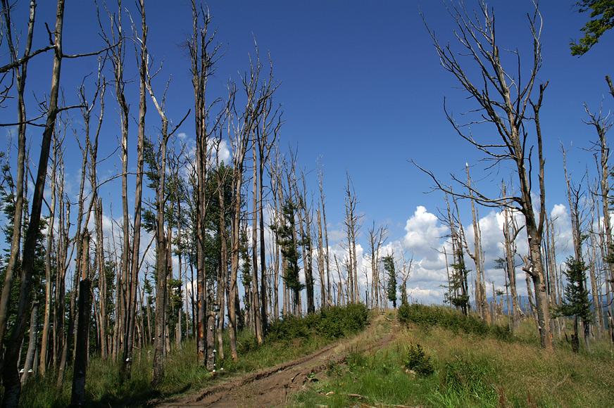 """""""Мертвий ліс"""" біля гори Кам'яна - 1127 м"""