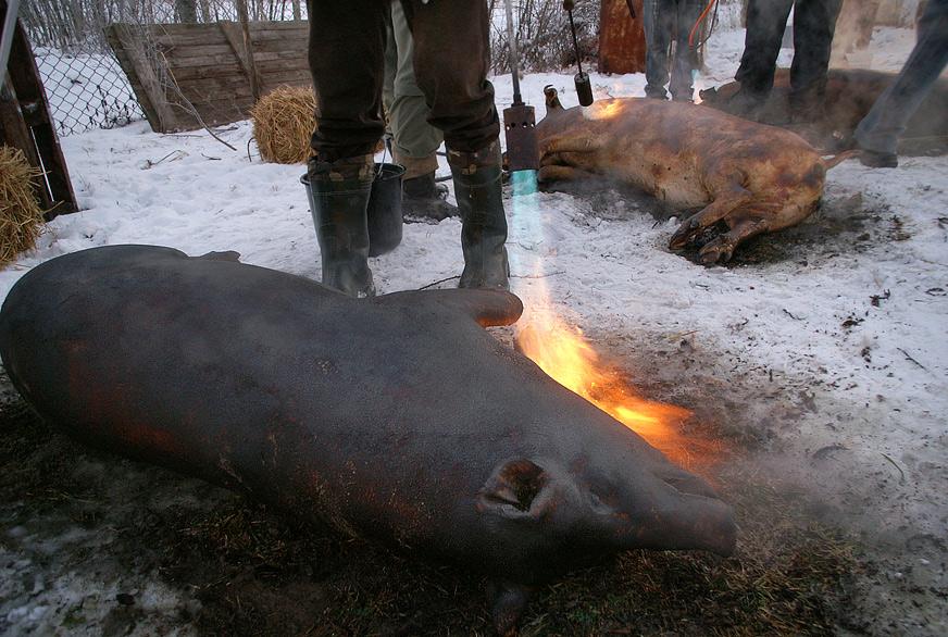 Традиційне обпалювання свиней
