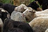 Проводи вівчарів на Боржавські полонини 2011