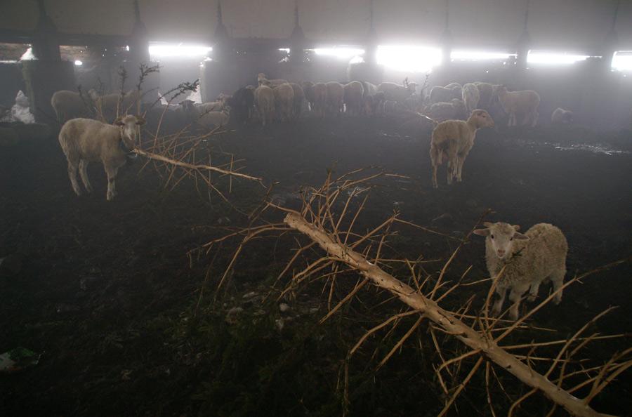 Залишки РЛС - притулок для овець