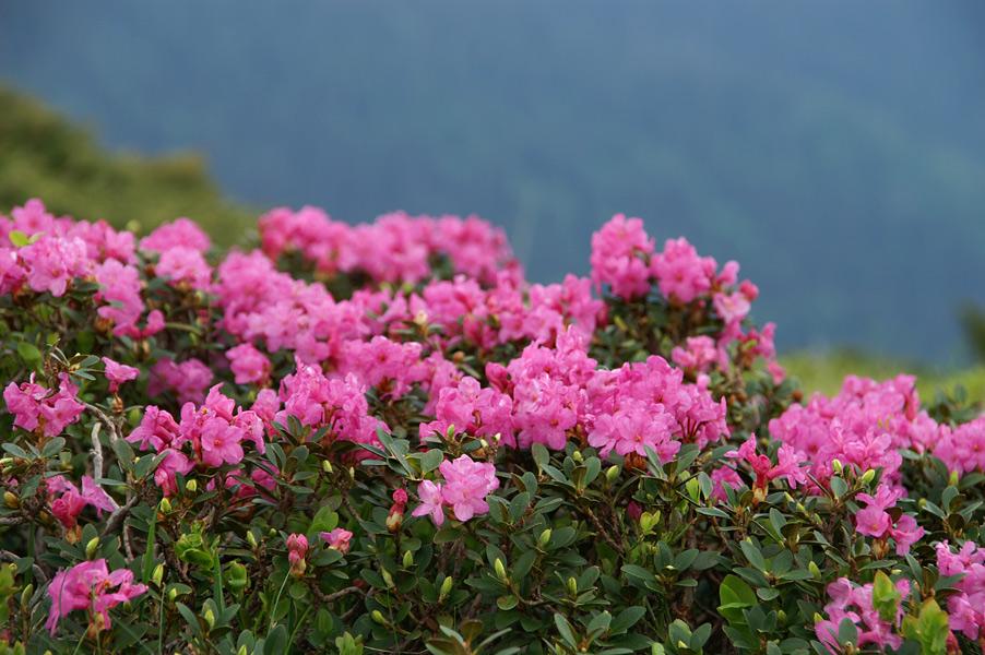 Квіти Рододендрону Східнокарпатського