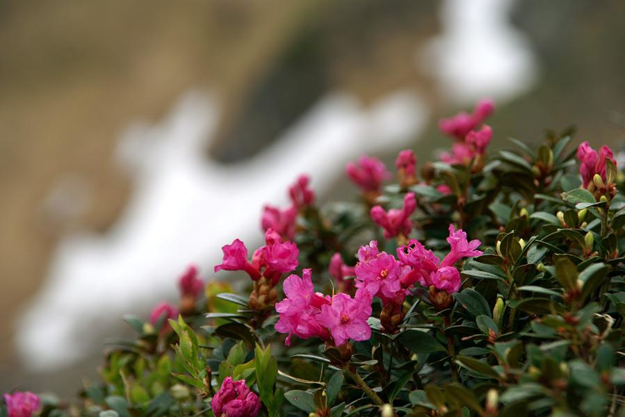 Мармароси. Цвіте рододендрон