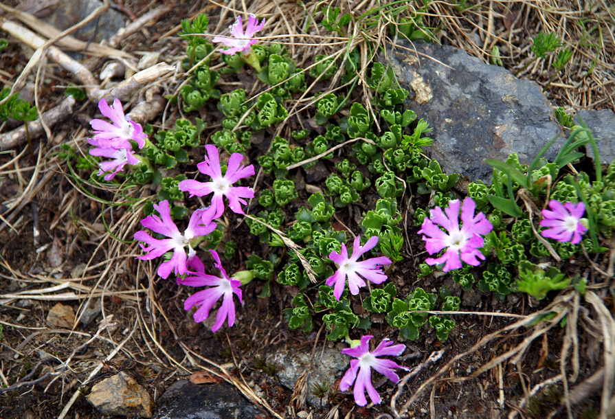 Первоцвіт дрібний (Primula minima L.)