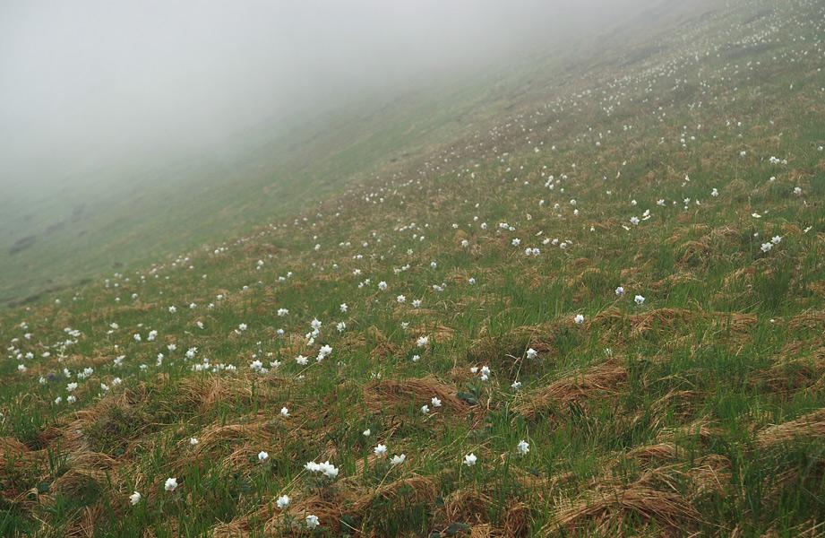 Сон-трава (Pulsatilla scherfelii)