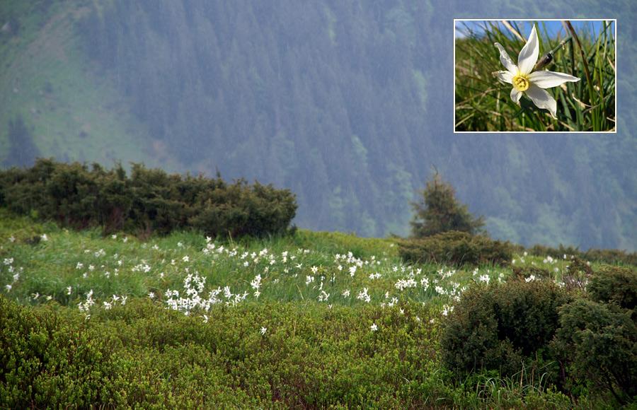 Нарцис поетичний (Narcissus poeticus L.)