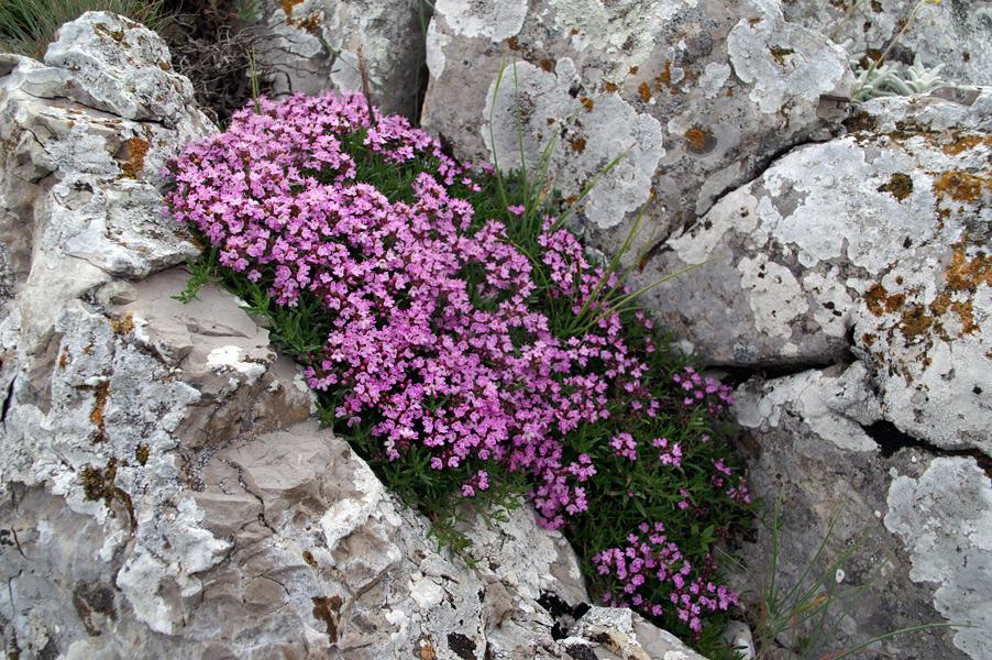 Квіти Криму - Чебрець