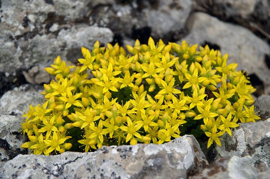 Квіти Криму - Sedum acre