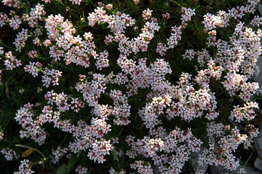 Квіти Криму - Проломник