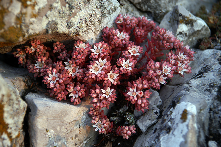 Квіти Криму - Очиток Іспанський