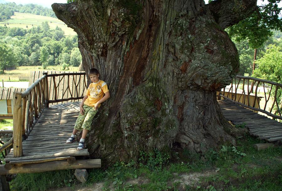 Щоб обійняти це величезне дерево, потрібно 6-7 чоловік