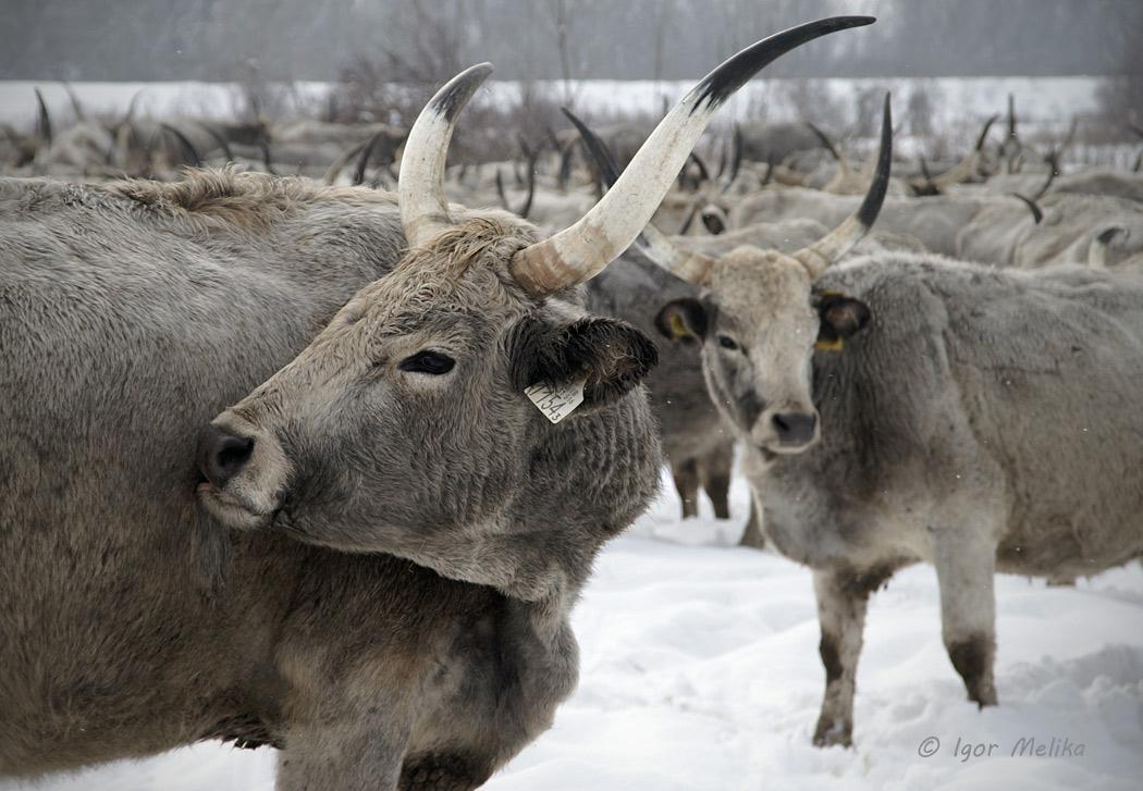 """Угорська сіра корова - """"сюркеморго"""""""