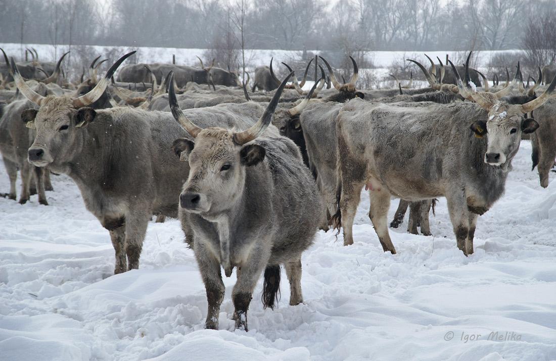 Угорська сіра корова (с. Верхні Ремети)