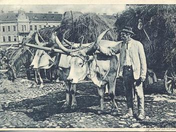 Угорська сіра корова