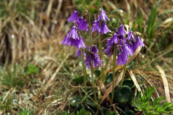 Сольданела гірська (Soldanella montana Willd)