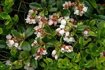 Брусниця звичайна, кам'янка, борівка, ґоґоц, (Vaccinium vitis-idaea L.), їстівна рослина