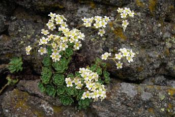 Ломикамінь волотистий (Saxifraga paniculata Mitt.)