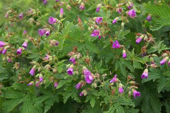 Ґерань лісова, журавець (Geranium sylvaticum L.)