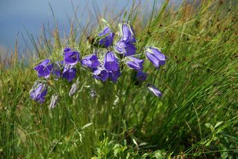 Дзвоники альпійські (Campanula alpina)