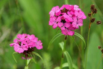 Гвоздика борідчата (Dianthus barbatus L.)