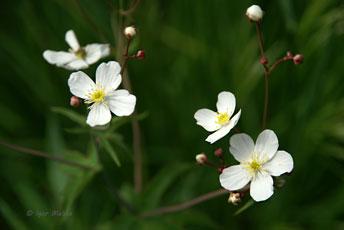 Жовтець платанолистий (Ranunculus platanifolius L.)