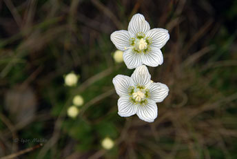 Білозір болотний (Parnassia palustris)