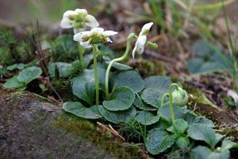 Одноквітка звичайна (Moneses uniflora L.)