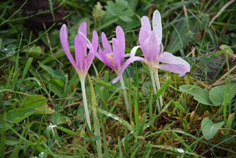Пізньоцвіт осінній (Colchicum autumnale L.)