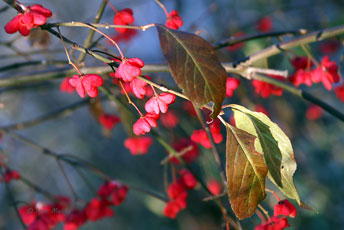 Бруслина європейська, бересклет (Euonymus europaea)