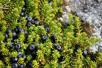 Водянка чорна (Empetrum nigrum), їстівна рослина