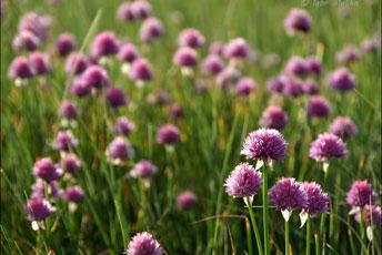 Цибуля-різанець, шніт, скорода (Allium schoenoprasum L.)