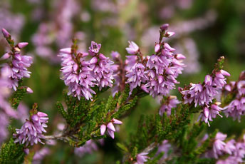 Верес звичайний (Calluna vulgaris L.)