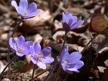 Печіночниця звичайна (Hepatica nobilis)