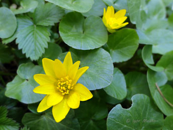 Пшінка весняна, маслянка (Чистяк весенний, лютик весенний) - Ranunculus ficaria